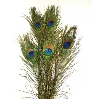 Peacock feathers (per 10 ) ± 100 cm