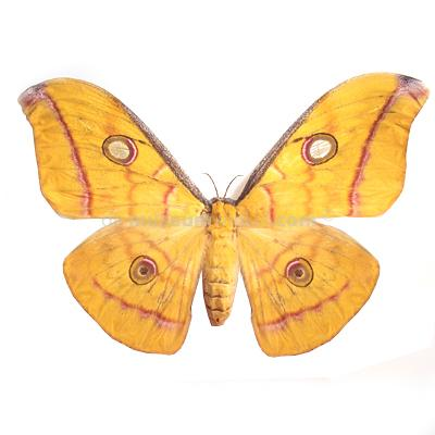Antheraea frithi sp. dried/papered