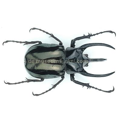 Chalcosoma atlas dried/papered