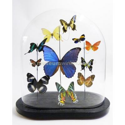 Antique glass dome with a variety of mounted butterflies
