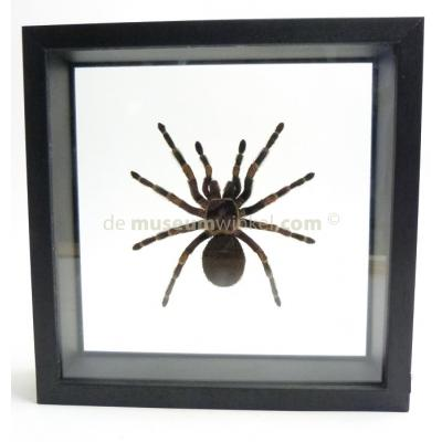 Tarantula sp. in double glass frame