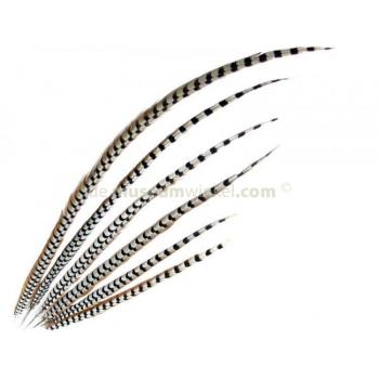Reeves's pheasant feathers 75 - 90 cm