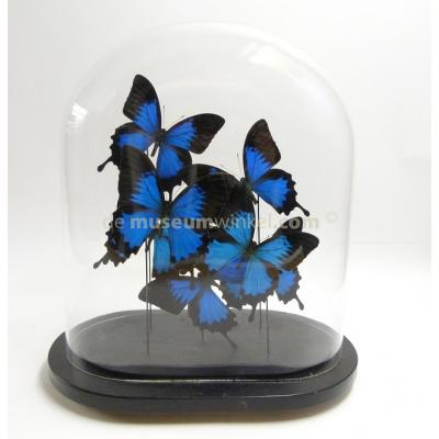 Glass dome with mounted butterflies - Papilio ulysses