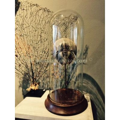 Horseshoe crab in a glass dome