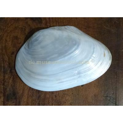 Decorative polished shell