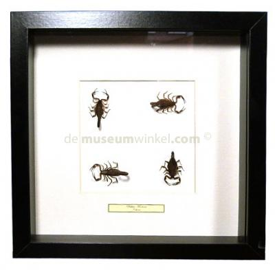 Scorpions (4) in exclusive black frame - Buthus martensi