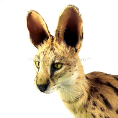 Mounted Serval