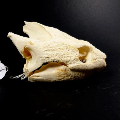 Skull of a Common snapping turtle 2