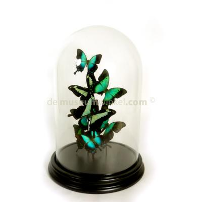 Glass dome with a variety of green mounted butterflies