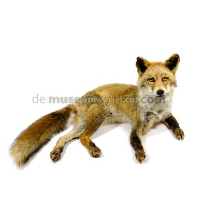 Mounted red fox (lying)