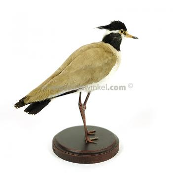 Mounted black-headed lapwing