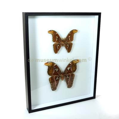 Attacus atlas in insect box