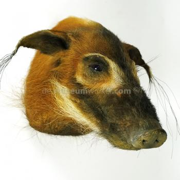 Mounted red river hog trophy