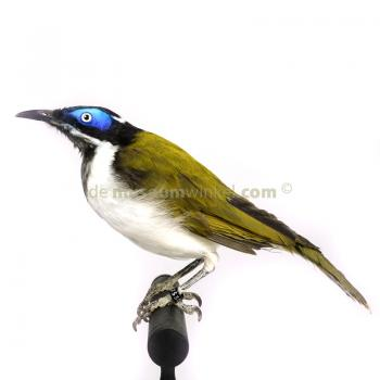 Mounted blue-faced honeyeater