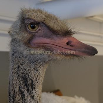 Mounted common ostrich