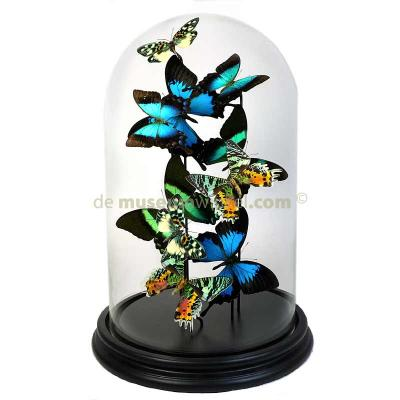 Butterflydome with mix of mounted butterflies