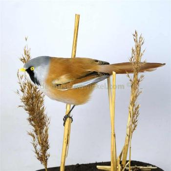 Bearded reedling in antique glass dome