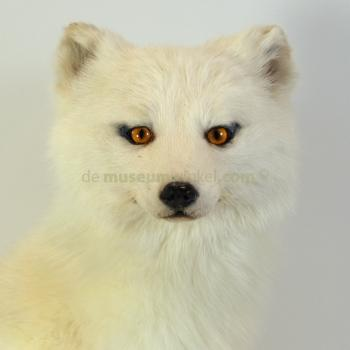 Mounted Arctic fox