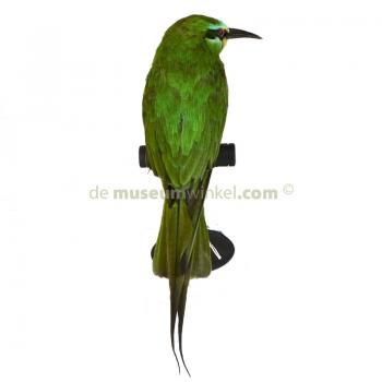 Mounted blue-cheeked bee-eater