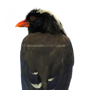 Mounted Red-billed Blue Magpie