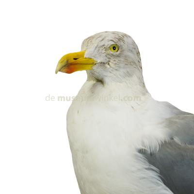 Mounted european herring gull