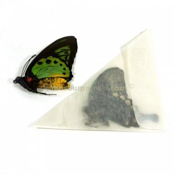 Papilio charopus dried/papered