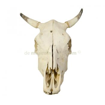 Skull of a cow