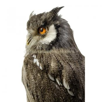 Mounted northern white-faced owl