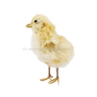 Mounted yellow chicken without pedestal