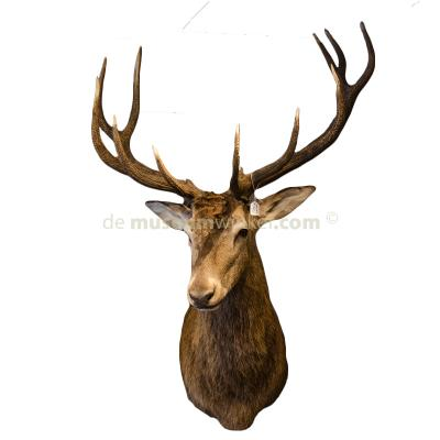 Mounted red deer trophy