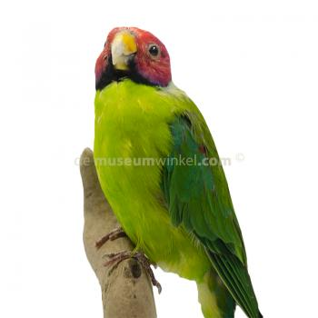 Mounted Plum-headed parakeet (Male)
