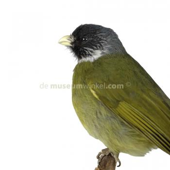 Mounted collared finchbill