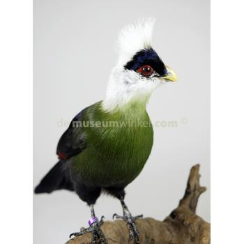 Mounted white-crested turaco