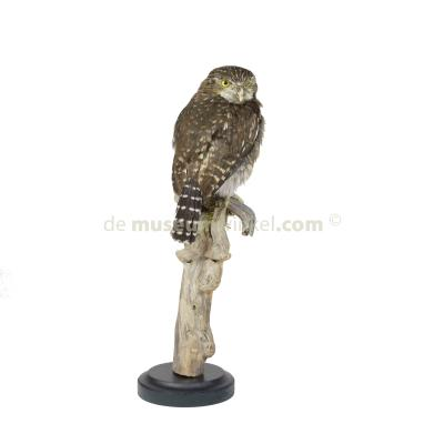 Mounted pearl-spotted owlet