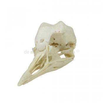 Skull of a crowned crane