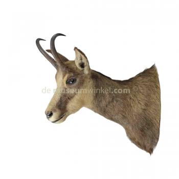 Mounted Chamois trophy