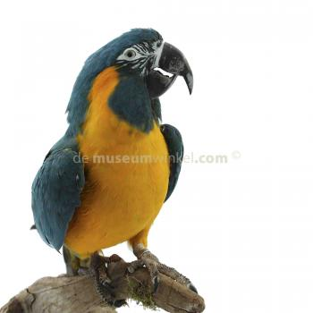 Mounted  blue-throated macaw