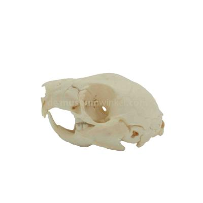 Skull of a Red-rumped agouti