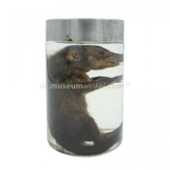 Banded mongoose in formaldehyde