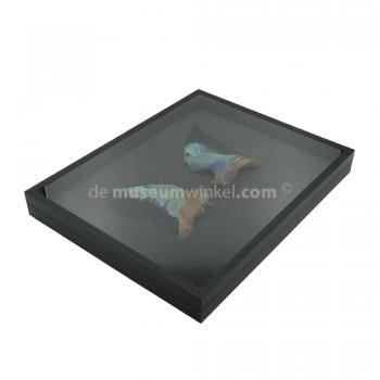 European roller wings in insect box