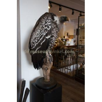 Mounted  Rüppell's vulture