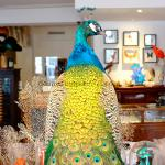 Mounted blue peafowl on pedestal