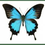 Papilio ulysses ulysses ongeprepareerd