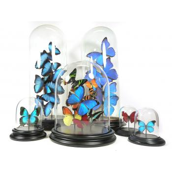 Glass dome with Atrophaneura coon coon