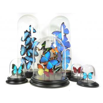 Glazen stolp met opgezette didius vlinder
