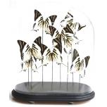 Antique glass dome with mounted butterflies - Graphium androcles