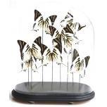 Antieke ovale glazen stolp met opgezette Graphium androcles vlinders