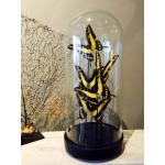 Antique glass dome with mounted butterflies - Papilio thoas