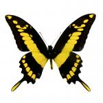 Papilio thoas cinyras dried/papered