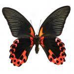 Papilio rumanzovia eubalia - onderkant
